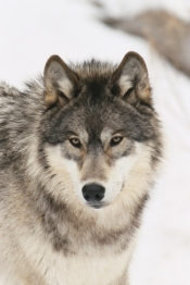winter-wolf-all-about-wolves
